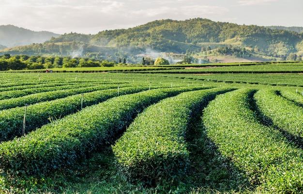 Tea plantations with mountain