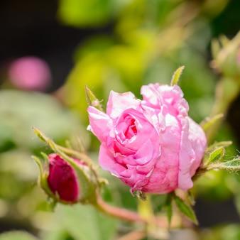 庭に咲いたティーローズ