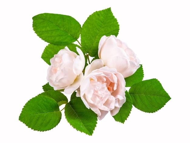 Кремовые цветы чайной розы с листьями, изолированные на белом фоне