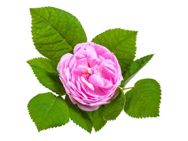 Чайная роза розовые цветы с листьями, изолированные на белом фоне
