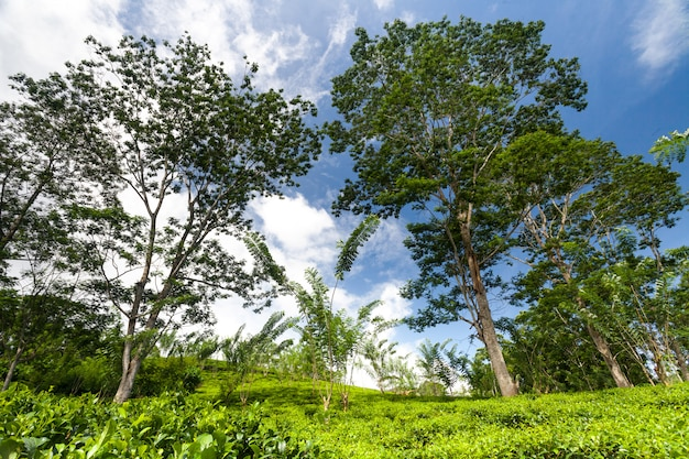 Tea shrubs, trees surrounded by tropical woods.