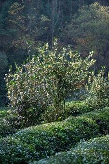 Tea tree flowers in the tea garden in the sun