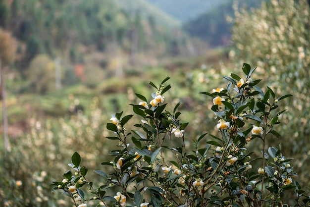 The tea trees in the tea garden are in full bloom