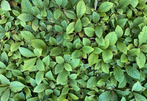 インドネシア、ジョグジャカルタのグヌンキドゥルの苗床に植えられたチーク植物