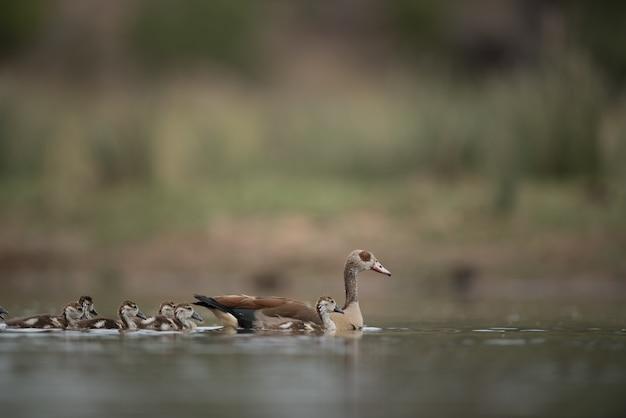 Squadra di anatre che nuotano nell'acqua con uno sfondo sfocato