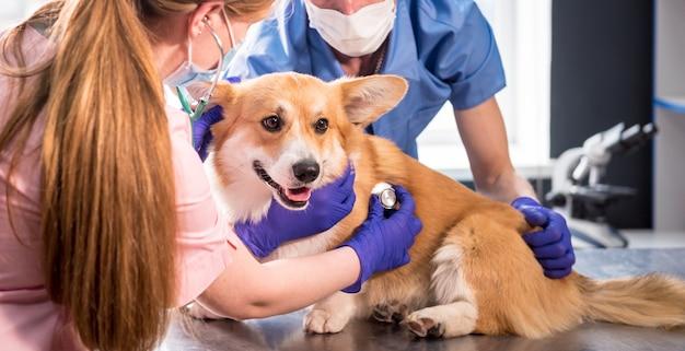 A team of veterinarians examines a sick corgi dog using an stethoscope