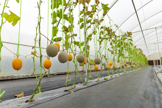 Technology for growing vegetables in greenhouses