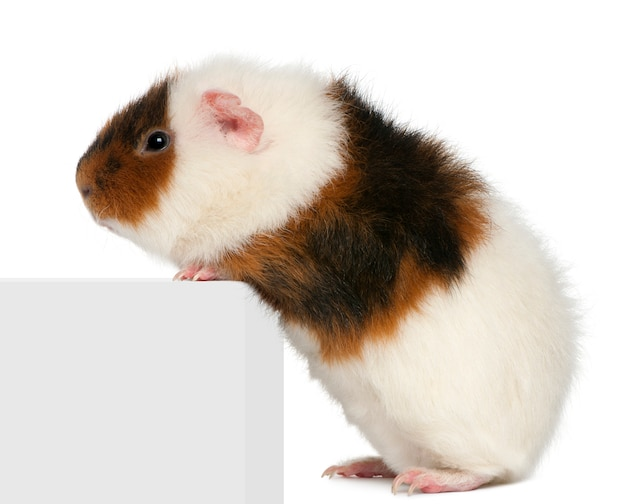 Teddy guinea pig climbing on box in front of white background
