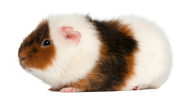 Teddy guinea pig, in front of white background