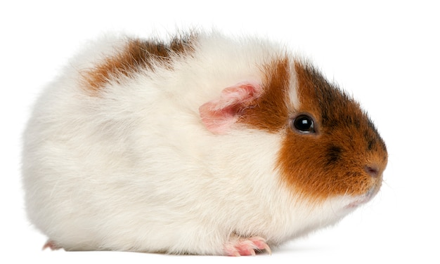 Teddy guinea pig in front of white background