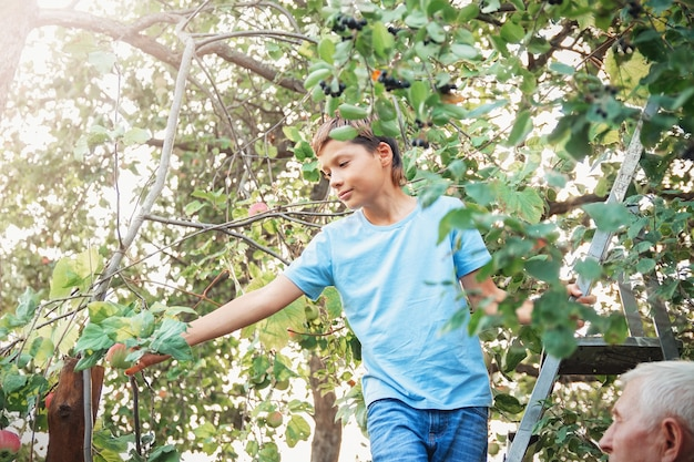 Teenage boy stands on stairs ladder and plucks apples from apple tree branches. grandfather and grandson are harvesting in the garden.