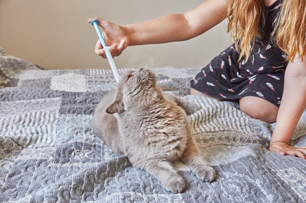 Teenage girl syringes fleas and ticks on a shorthaired gray british cat.