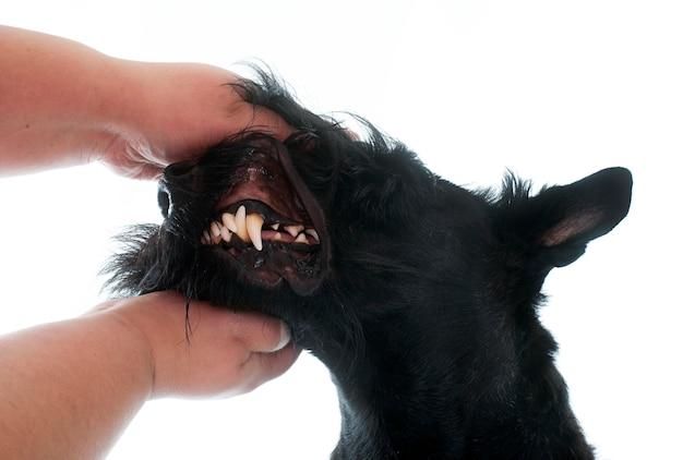 Teeth of scottish terrier