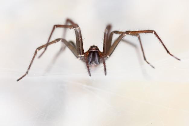 洞窟の中の巨大な家のクモ(tegenaria sp)