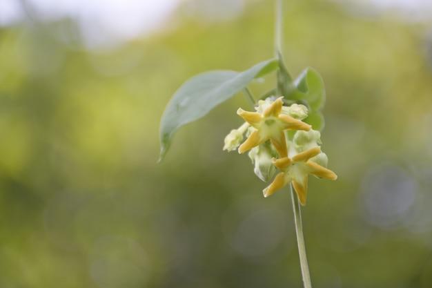 カウスリップ、緑の自然の背景を持つtelosma cordata花。