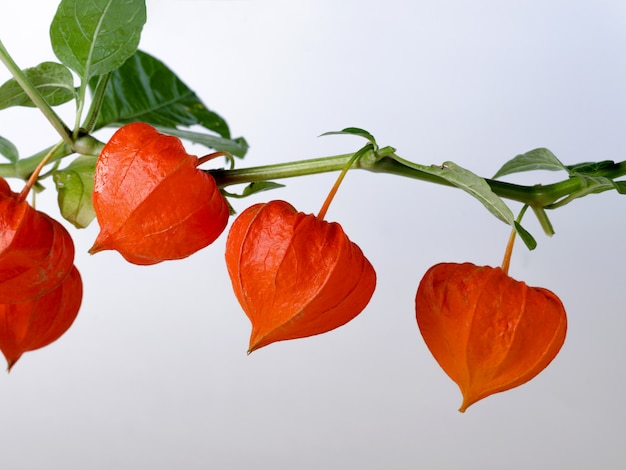 Template with ripe red physalis flowers.
