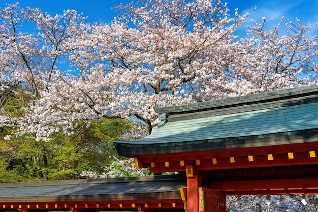 봄 날, 일본의 사원 지붕과 벚꽃.