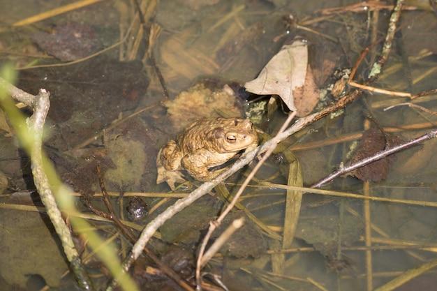 ヨーロッパの一般的なカエル(ラナtemporaria)のクローズアップ