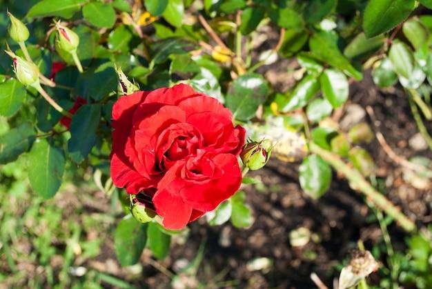 庭の暗い背景に優しい大きなバラ
