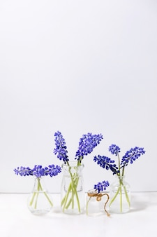 Tender blue muscari flowers in glass jugs with water in row over white marble table with white wall. copy space. still life