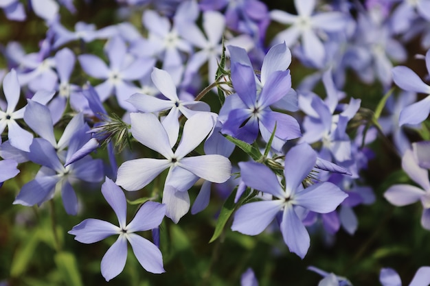 Tender blue woodland phlox or phlox divaricata wild sweet william closeup purple flowers in spring garden on blurry background selective focus with place for text nature concept for design