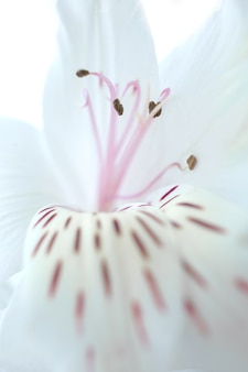 アルストロメリアの花びら、雌しべ、雄しべの優しい花の背景