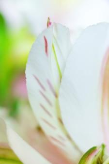 アルストロメリアの花マクロの花びらと優しい花の背景