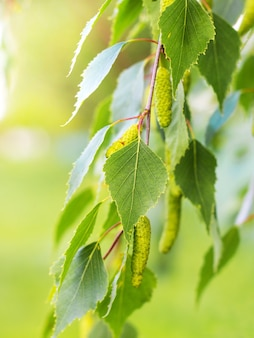 Tender fresh green birch leaves on a tree in sunny weather
