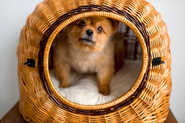 Tender and kind pomeranian puppy portrait in its dog house