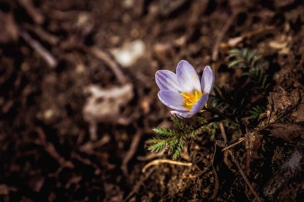 春にはやわらかいライラッククロッカスが地面から現れました。