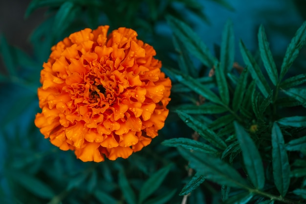 Tender marigold on rich greenery with raindrops.
