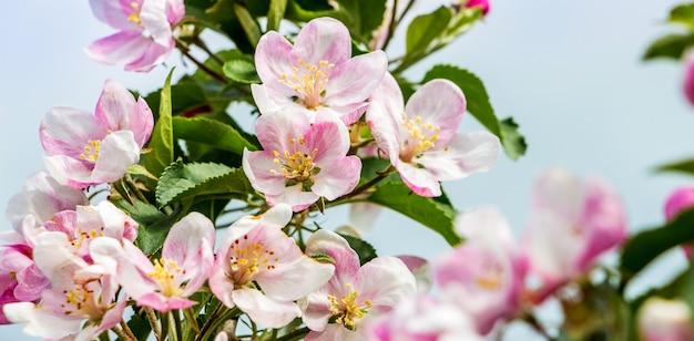 晴天時の柔らかいピンクのリンゴの花