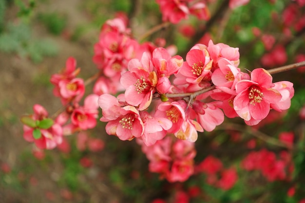 Tender pink flowers of japanese quince or henomeles blooms in spring in the gardens of japan
