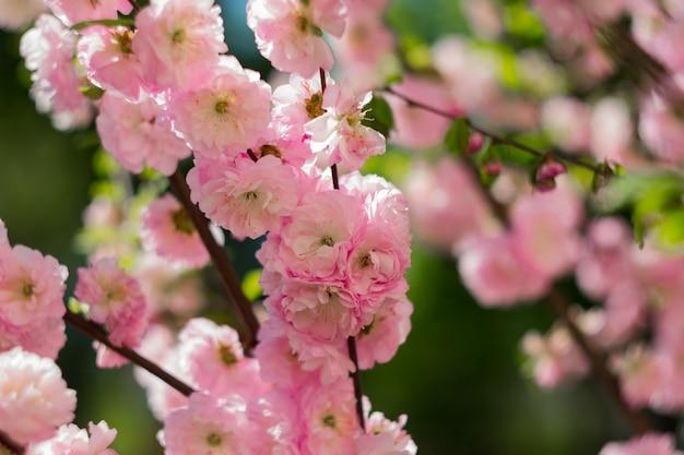 부드러운 핑크 사쿠라 꽃. 봄 꽃.