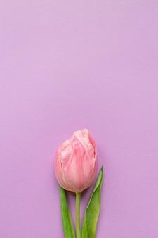 Tender pink tulip on bottom of pastel violet background.