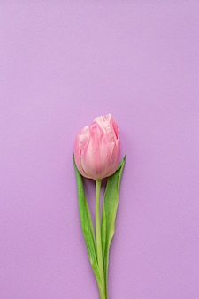 Tender pink tulip in center of pastel violet background.