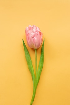 Tender pink tulip on pastel yellow background. greeting card for women's day. flat lay. copy space. place for text. concept of international women's day, mother's day, easter. valentines love day