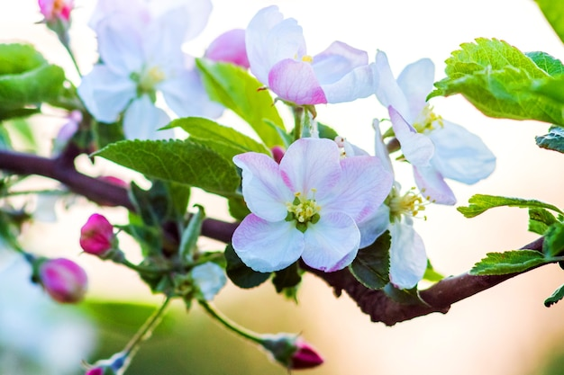 Tender pink and white flowers of apple on a tree branch