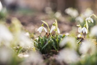 Tender snowdrops flowers in a young fresh grass.