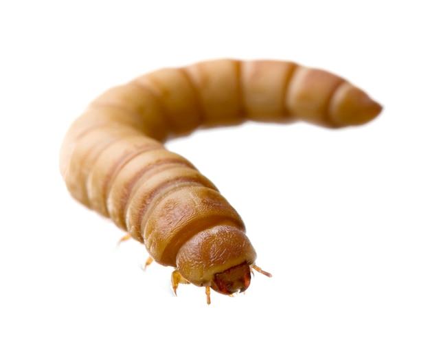 Личинка мучнистого червя - tenebrio molitor на белом фоне
