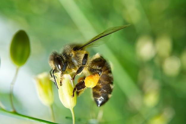 Медоносная пчела собирает пыльцу с цветков растений спаржи tenuifolius. макросъемка.