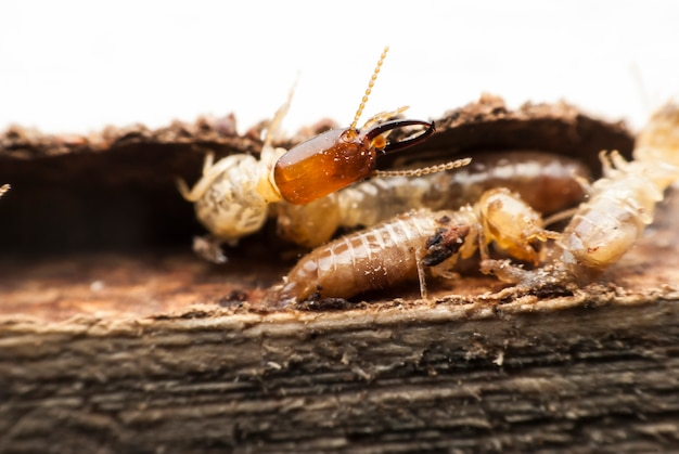 木材の分解に関するシロアリのマクロ