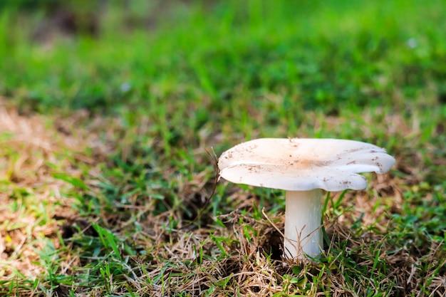 Termite mushroom growning up in garden after rain drop