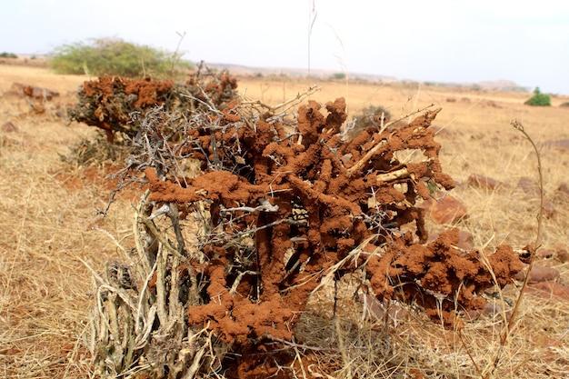 とげのあるサボテン植物イエシロアリを食べるシロアリ