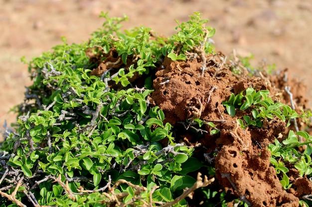 野生植物イエシロアリを食べるシロアリ