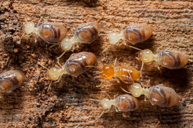 木の上のコロニーのシロアリ昆虫