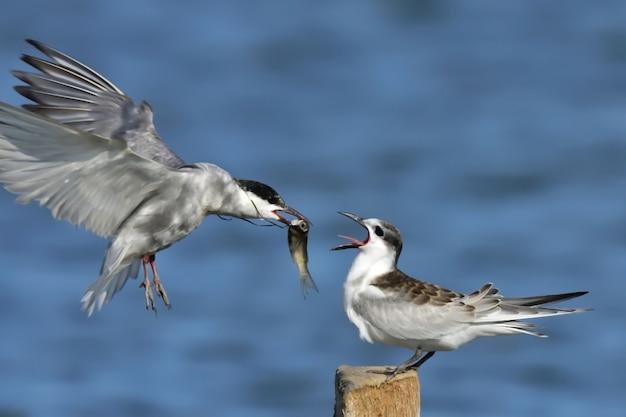 アジサシ、湖のアジサシ。ヨーロッパの鳥。ポーランド