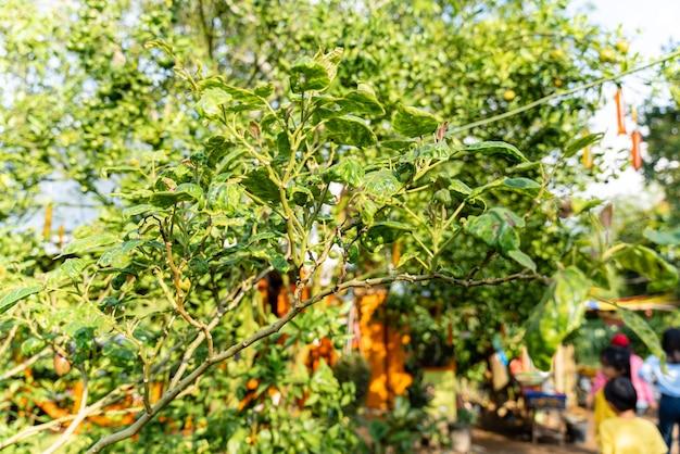 Теронг беланда или растение тамарилло с зелеными плодами и листьями solanum betaceum из индонезии