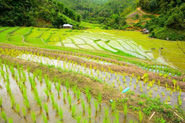 Террасное рисовое поле в северном таиланде. рисовые поля тамбон мае хо мае сарианг в мае хонг сон, таиланд.