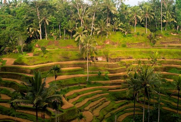 Terraced farmland in bali